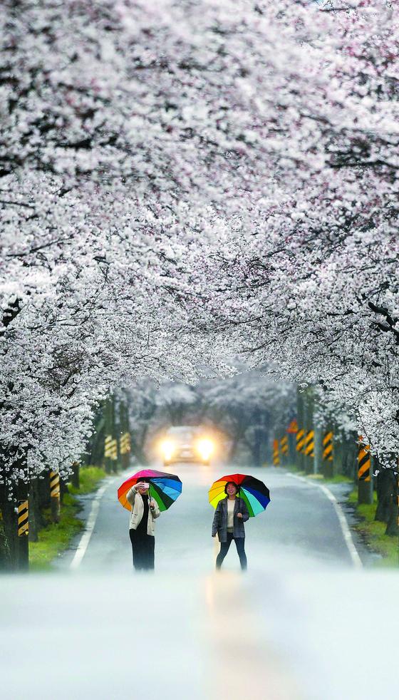 봄비가 내리는 9일 오후 경남 함양군 벚꽃길을 시민들이 걷고 있다. 봄꽃 개화 시기는 2~3월 기온과 강수량의 영향을 받지만, 먼저피는 진달래·개나리 처럼 식물 특성에 따라 달라진다. [연합뉴스]