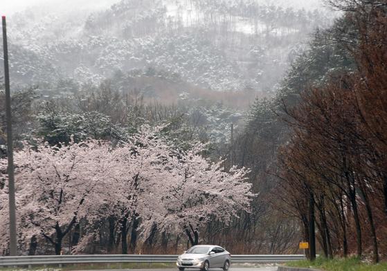 10일 벚꽃이 만발한 강원 강릉시 대관령에서 차량이 봄눈을 뒤로하고 달리고 있다. [연합뉴스]