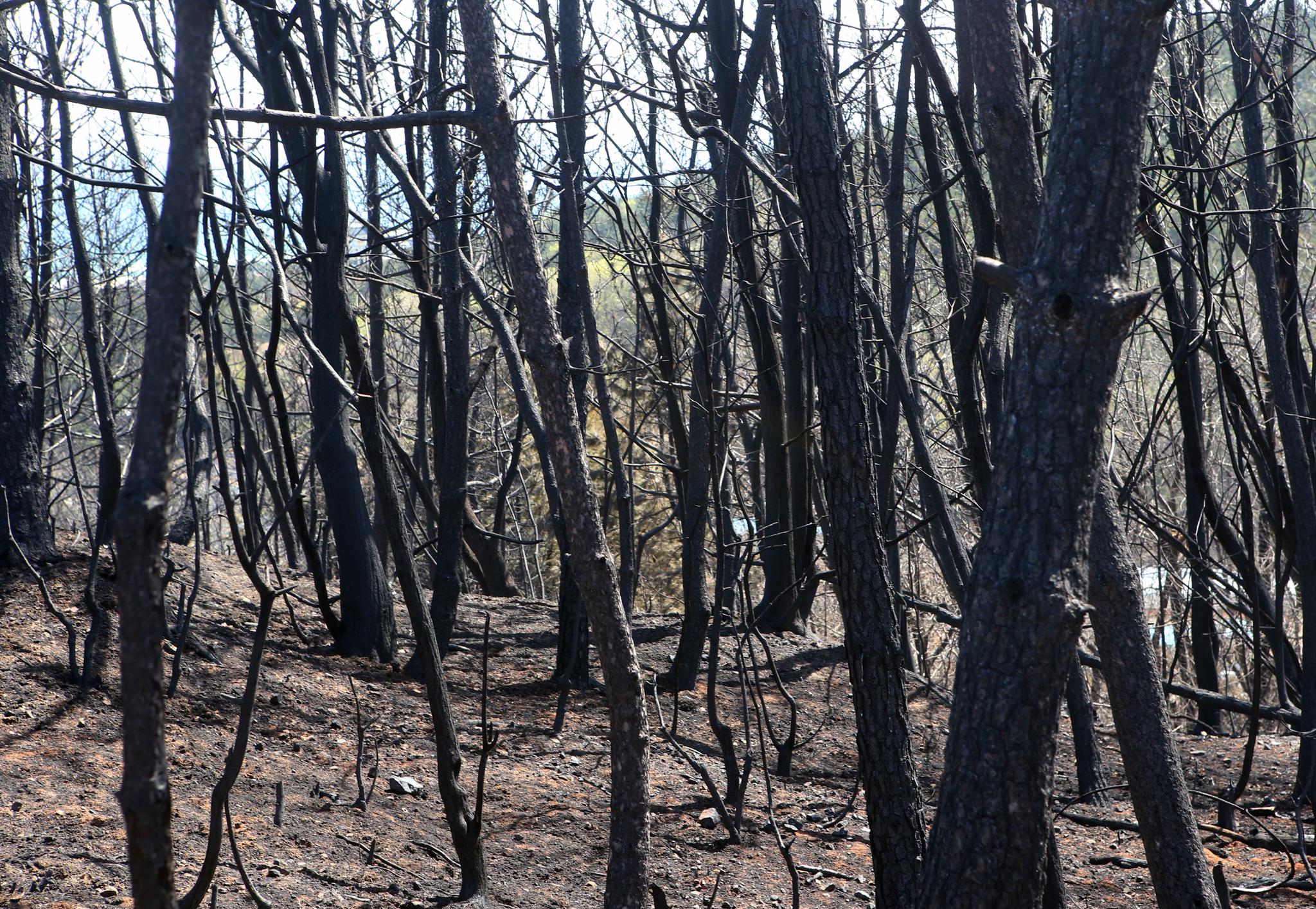 최근 산불이 발생한 강원 동해시 망상동의 소나무 숲이 숯덩이로 변했다. 소나무는 아름답기는 하지만 산불에 취약하다. [연합뉴스]