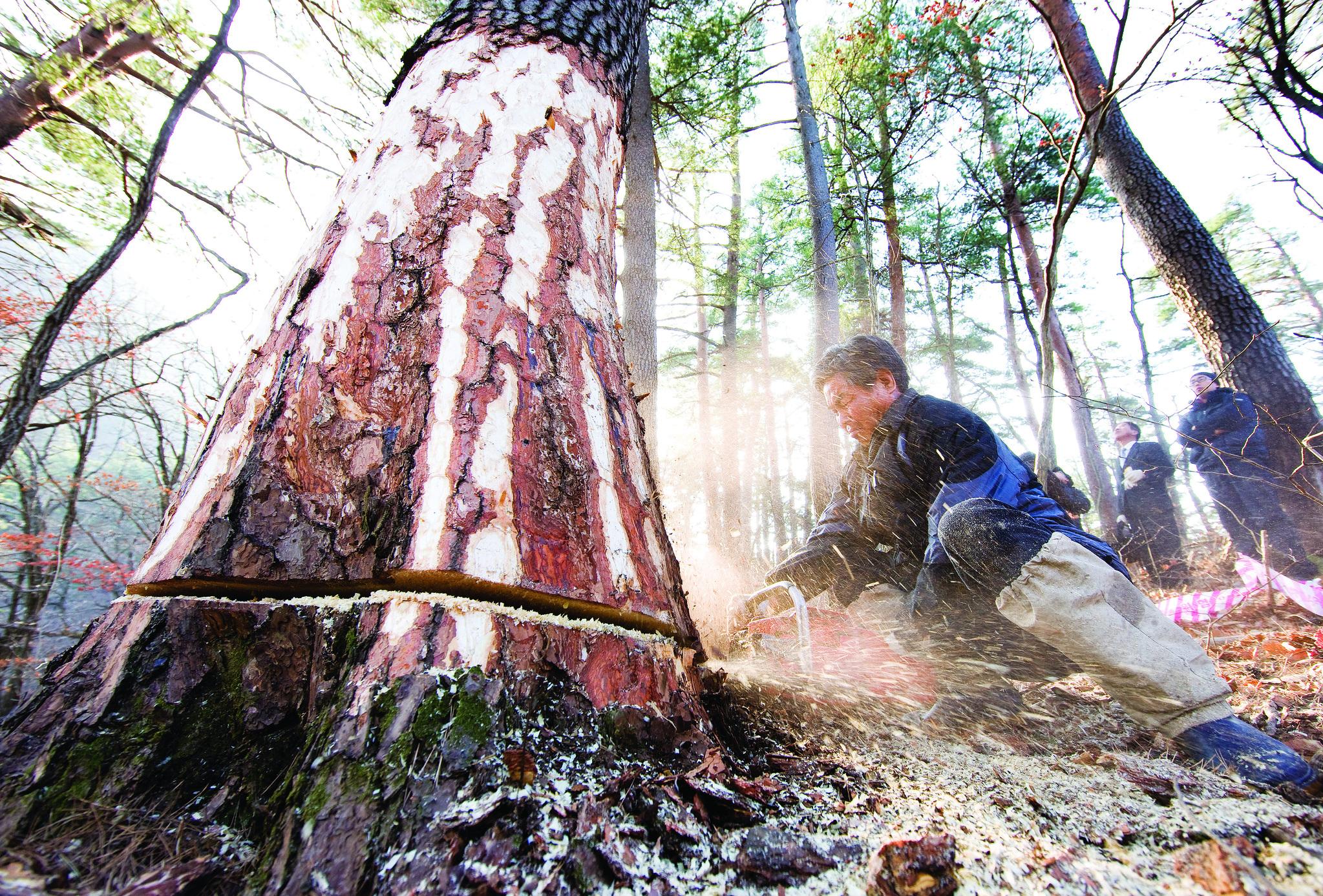 2008년 12월 10일 강원도 삼척시 황장산 자락에 110살짜리 적송이 잘리고 있는 모습. 숭례문 복원에 사용된다. [중앙포토]