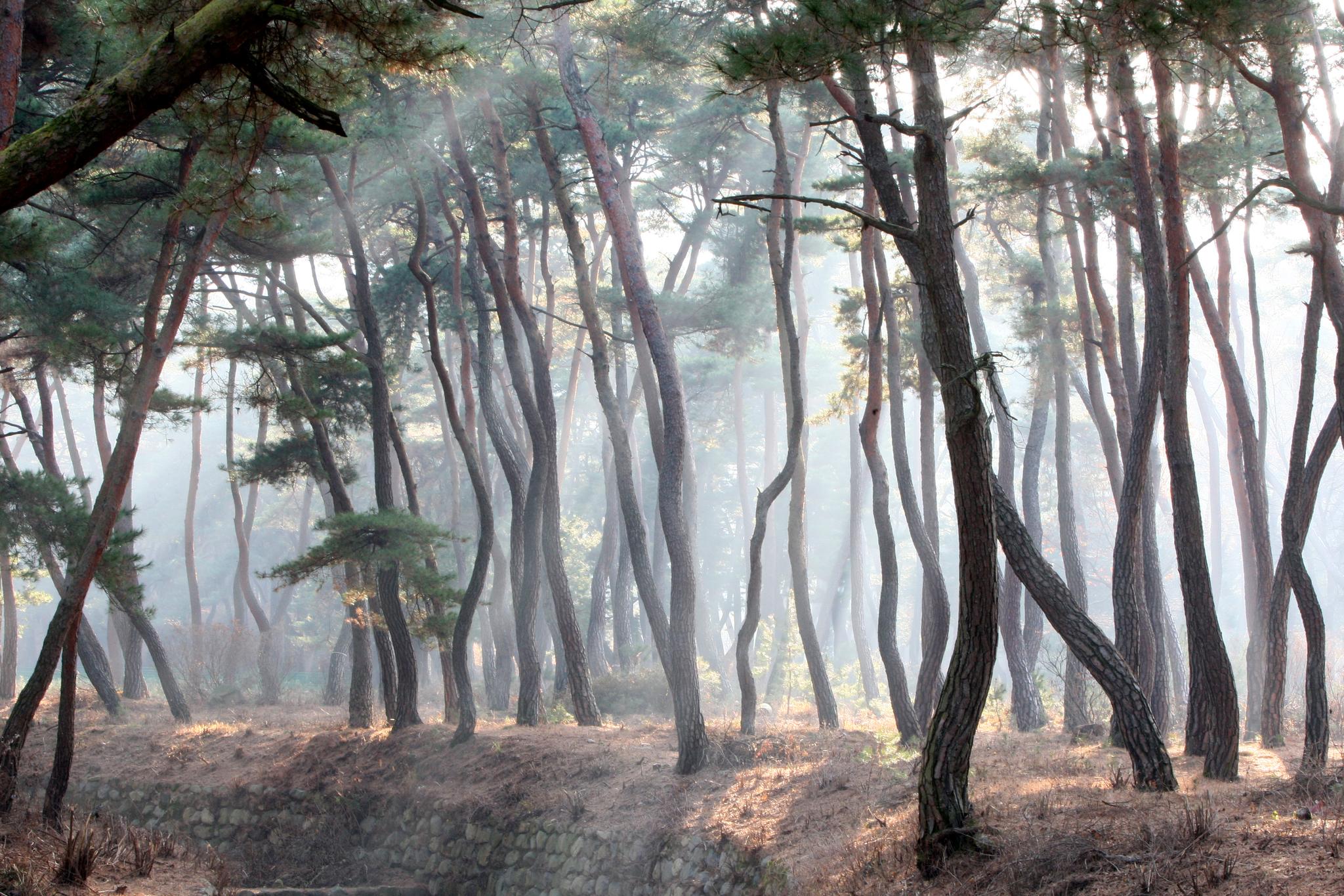 천년을 살아 갖은 질곡과 고난을 이겨내고 굽이굽이 세월을 지켜온 경주 삼릉 소나무 숲 사이로 햇살이 비친다. 소나무는 한국인이 가장 사랑하는 나무다. [중앙포토]