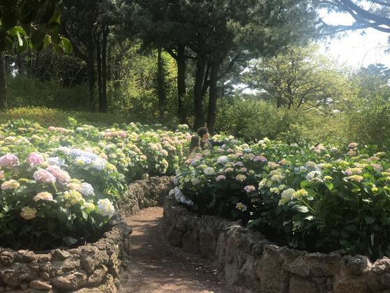 철보다 두달 일찍 수국이 만개한 제주 서귀포시 자연생태공원 휴애리를 찾은 관광객들이 사진을 찍고 있다.  최충일 기자