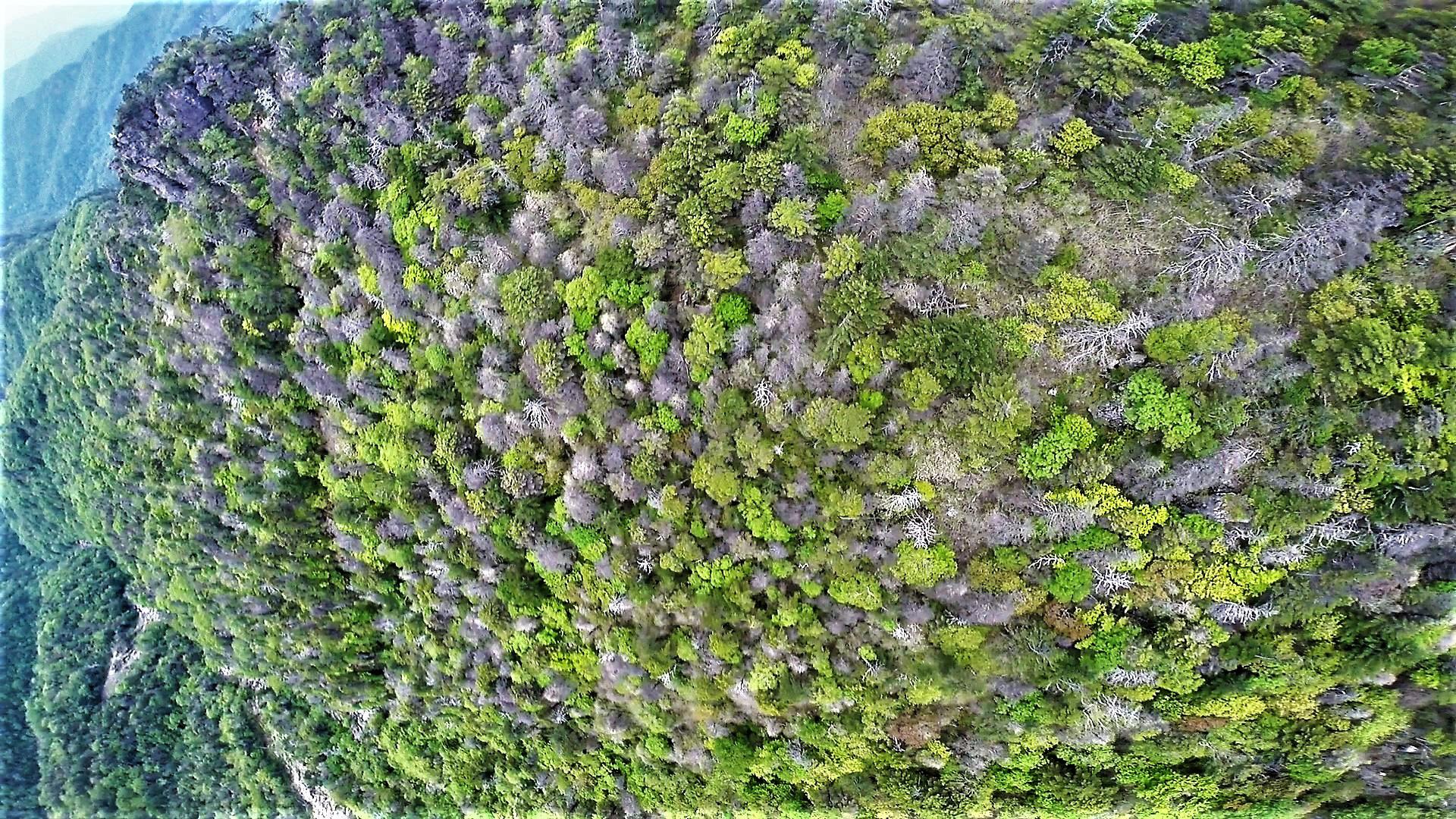 녹색연합이 지난해 9월 공개한 지리산 정상봉인 천왕봉-중봉 북사면에 나타난 고산침엽수 떼죽음 모습. 녹색연합은 국립백두대간수목원과 함께 지난 5월부터 8월까지 약 4개월간 현장을 조사한 결과 구상나무와 가문비나무가 빠른 속도로 죽어갔다고 설명했다. [녹색연합 제공= 뉴스1]