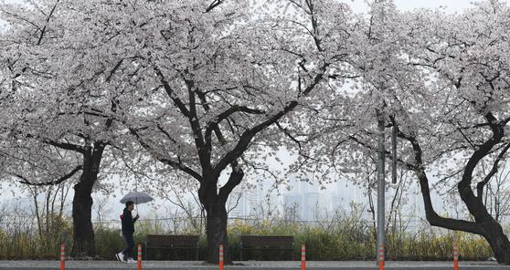 14일 서울 여의도 국회 윤중로에 아직 벚꽃이 만개해 있다. 한 연인이 우산을 함께 쓰고 벚꽃 길을 걷고 있다. 임현동 기자