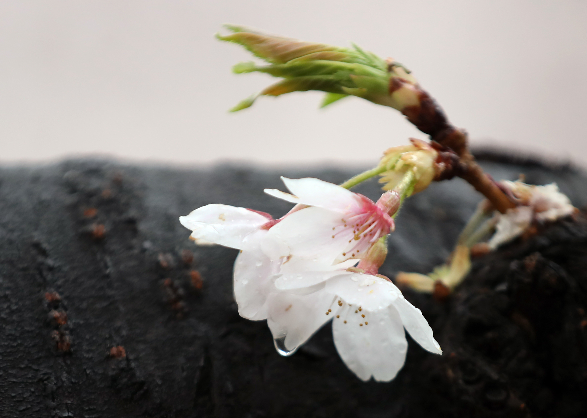 14일 오전 서울 여의도 국회 윤중로에서 벚꽃이 비를 머금고 있다. [뉴시스]