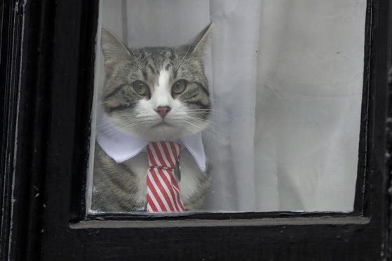 어산지가 런던 에콰도르대사관에서 키우던 고양이 [AP=연합뉴스]