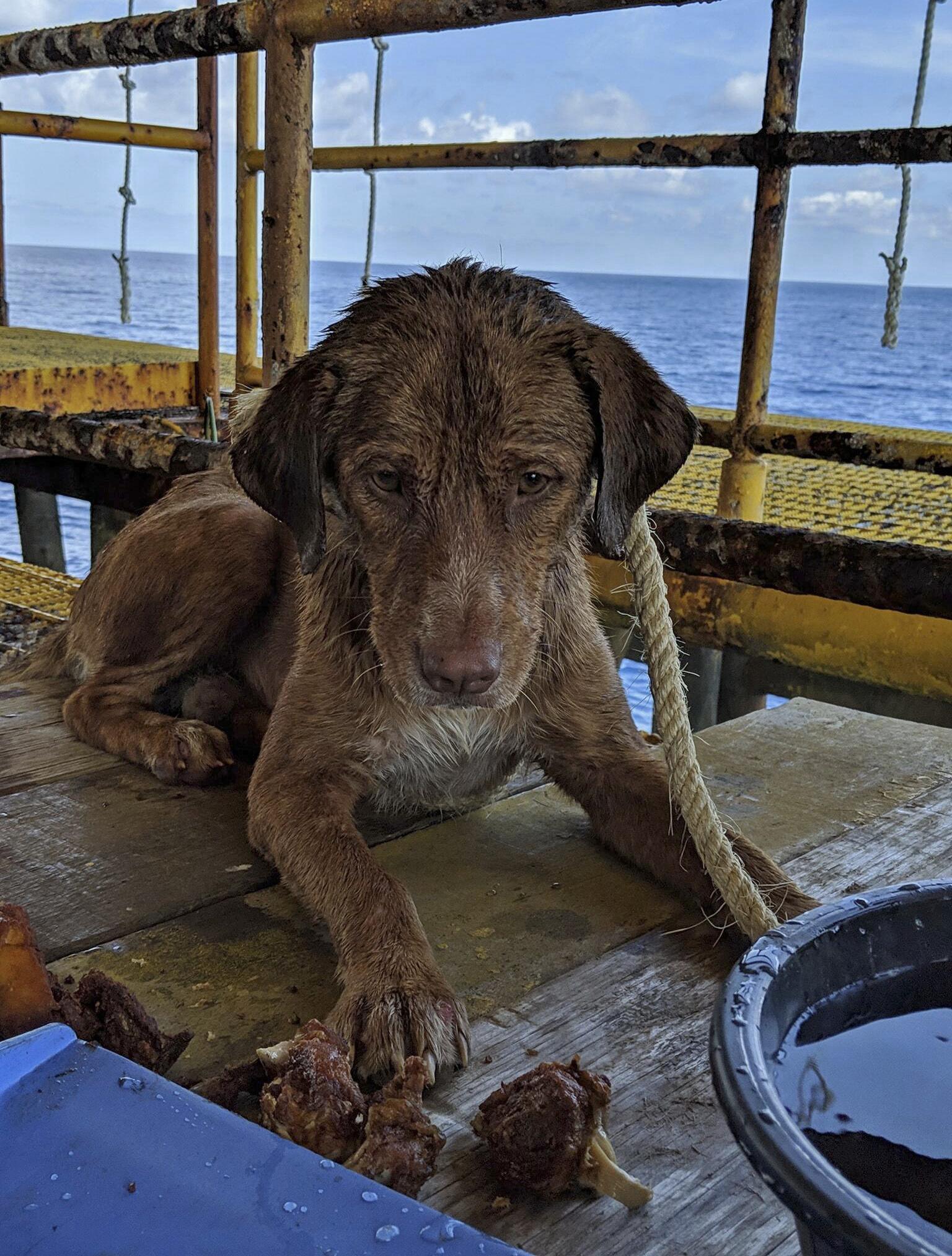 망망대해를 홀로 표류하던 개가 석유 굴착 작업자들에게 발견돼 목숨을 건졌다.지난 12일 태국 남부 타이만의 석유 시추선 인근에서 구조된 갈색 개 '분로드'가 지친 기색으로 휴식을 취하고 있다. [AP=연합뉴스]