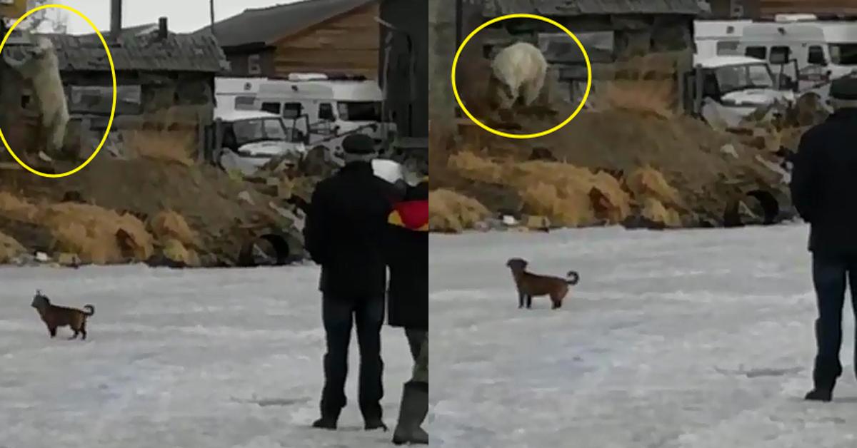 러시아의 한 마을로 내려와 먹이를 찾고 있는 북극곰. [kamchatskiy_sever 인스타그램 캡처]