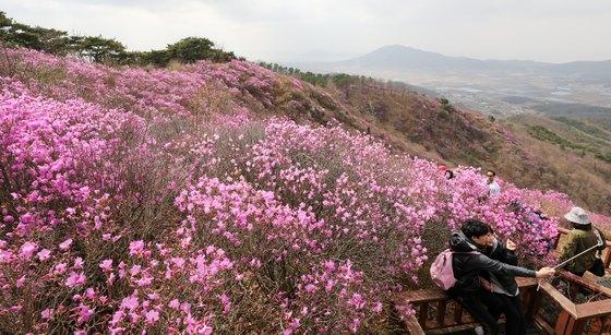 강화도 고려산에서 군락을 이룬 진달래가 만발해 진홍빛으로 물들어 있다. [뉴스1]