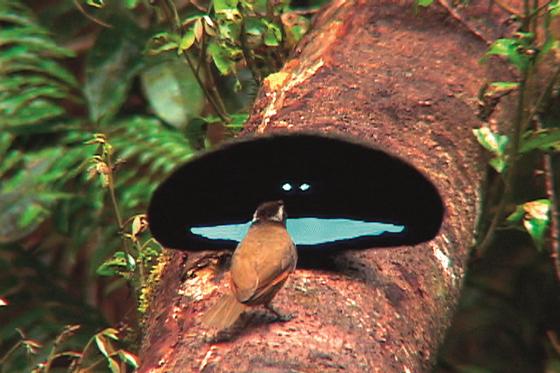 수컷 어깨걸이풍조 한 마리가 자신의 과시용 통나무를 방문한 암컷에서 가슴깃털을 부챗살처럼 펼쳐 특유의 스마일 이모티콘을 보여주며 구애 행동을 하고 있다. [사진 동아시아]