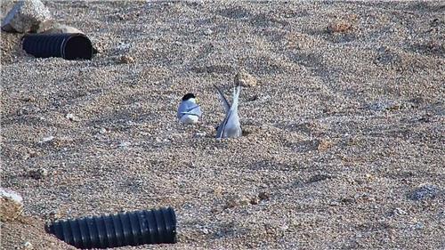 안동호 인공 모래섬에 서식하는 쇠제비갈매기. [안동시 제공=연합뉴스]