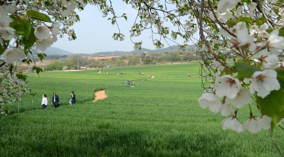 제16회 고창 청보리밭 축제가 한창인 20일 전북 고창군 공음면 학원농장에서 관광객들이 넓게 펼쳐진 보리밭 사잇길을 걸으며 주말을 만끽하고 있다. [뉴시스]