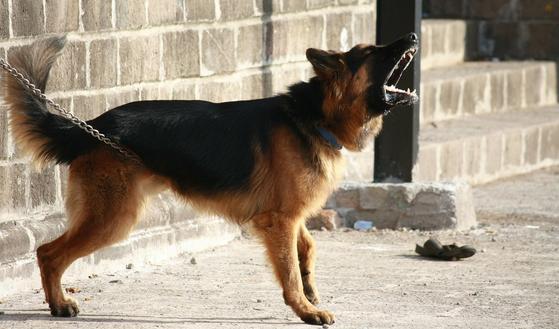 개의 공격성으로 인한 사고가 국내외에서 많이 발생한다. 개는 리더십을 과시하고 싶어서, 영역을 지키기 위해, 놀이 중 흥분해서, 사냥에 대한 본능적 욕구에 의해서 공격성을 드러내게 된다. [사진 pixabay]