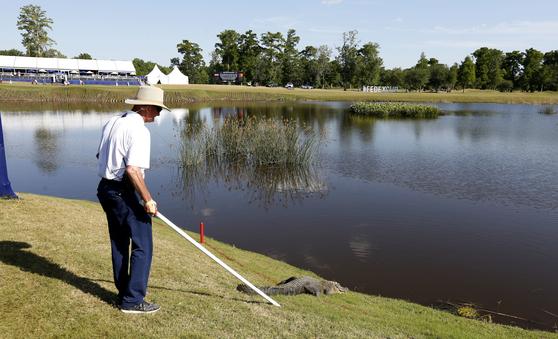 지난해 PGA 취리히 클래식에서 해저드 근처에 나타난 악어를 한 진행요원이 장비를 이용해 쫓아내기를 시도하고 있다. [AP=연합뉴스]