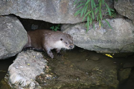 강원도자연환경연구공원은 지난해 4월부터 10월까지 공원 내 포유류 서식 조사를 한 결과 천연기념물 제330호 수달이 서식하는 것으로 확인됐다고 25일 밝혔다. [사진 한국수달연구센터]