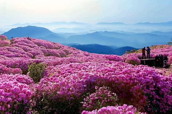 국내 최대의 야생 철쭉 군락지인 경남 합천 황매산. 이른 아침 산에 오르면 철쭉꽃 만개한 산 아래로 운해가 깔린 모습을 볼 수 있다. [중앙포토]