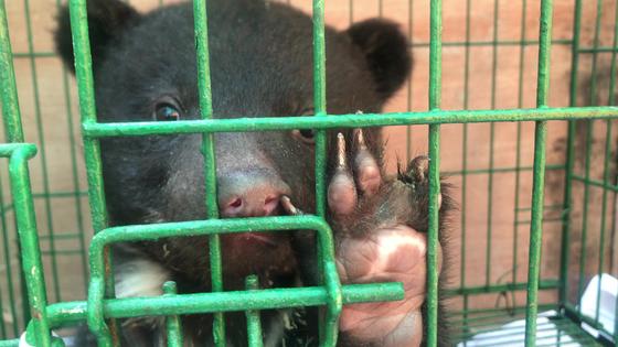 경기도 용인시의 한 사육곰 농가에 발톱이 빠진 새끼곰이 방치돼 있다. [녹색연합 제공]