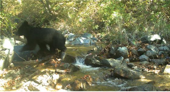 지난해 10월 DMZ 내 무인생태조사장비에 찍힌 새끼 반달가슴곰. [환경부 제공]