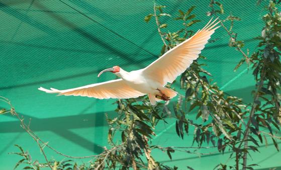 경남 창녕군 우포 따오기복원센터 관람케이지에서 비행연습을 하고 있는 따오기. 송봉근 기자