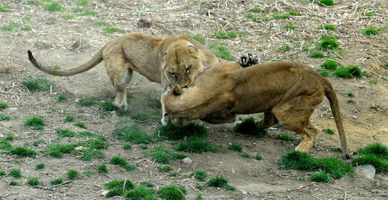 경기도 과천 서울대공원에서 암사자 두마리가 사육사가 던져준 먹이를 차지하기 위해 싸우고 있다. [사진공동취재단]