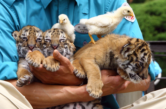 2007년 4월25일 경기도 용인 에버랜드 사파리월드에서 태어난 아기호랑이 3마리가 일반에 공개됐다. [중앙일보DB]