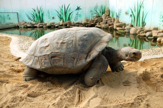 2014년 서울동물원의 최고 어른은 107살 난 갈라파고스코끼리거북이다.남미 에콰도르 갈라파고스제도에 사는 국제적 멸종위기종으로 거북 종류 중 몸집이 가장 크고 오래 산다. 평균 수명은 180~200년이다. 앞으로도 100년은 더 볼 수 있다.[사진제공=서울대공원]