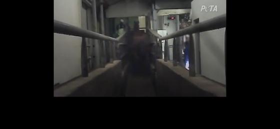 페타가 제공한 말 학대 동영상의 캡쳐 사진. 도축되는 동물이 다른 동물의 주검을 못보게 솔치된 가림막(말 오른쪽 부분)이 사용되지 않았다. [페타 유튜브 캡쳐]