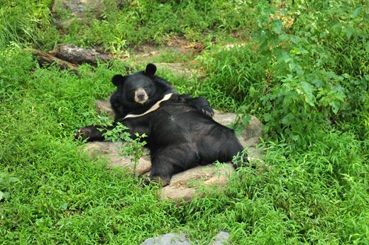 낮잠을 자다가 카메라를 쳐다보는 반달가슴곰 [사진 국립공원공단 제공]