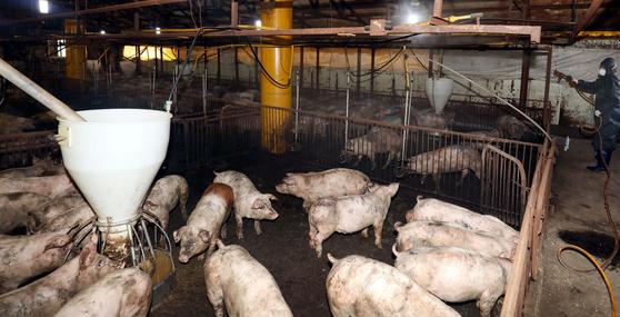 한 돼지농장에서 돼지들이 먹이를 먹고 있다. 사진은 기사 내용과 관련 없음. [중앙포토]