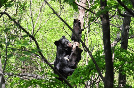 엄마 반달가슴곰이 새끼 반달가슴곰 두마리에게 나무타기 훈련을 시키고 있는 모습. 반달가슴곰은 한번에 새끼를 보통 두 마리씩 낳는다. [사진 국립공원공단 제공]