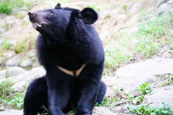 국립공원공단 종복원기술원 생태학습장의 반달가슴곰. 국내에 반달가슴곰은 지리산 등지에 62마리, 국립공원공단의 종복원기술원에 18 마리, 서울대공원에 2 마리, 청주동물원에 1 마리가 살고 있다. [사진 국립공원공단]