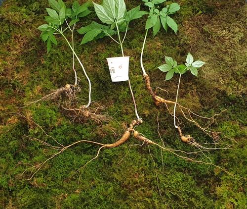 6일 경남 거창의 산에서 발견된 산삼. 가장 오래된 것이 110년으로 감정됐다. 흰 것은 종이컵이다. [사진 한국전통심마니협회]