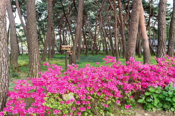 솔밭근린공원에는 100년생 자생 소나무가 1000여 그루 있다. 소나무 사진으로 유명한 배병우 작가의 작품을 흉내내볼 수 있겠다. [사진 서울관광재단]