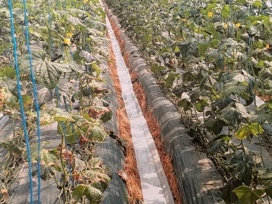 경북 상주시 낙동면 한 오이 농장에서 물을 제대로 공급하지 못해 잎이 누렇게 마른 모습. [사진 독자제공]