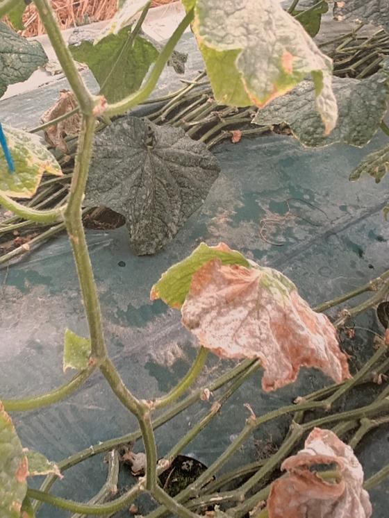 경북 상주시 낙동면 한 오이 농장에서 물을 제대로 공급하지 못해 잎이 누렇게 마른 모습. [사진 독자]