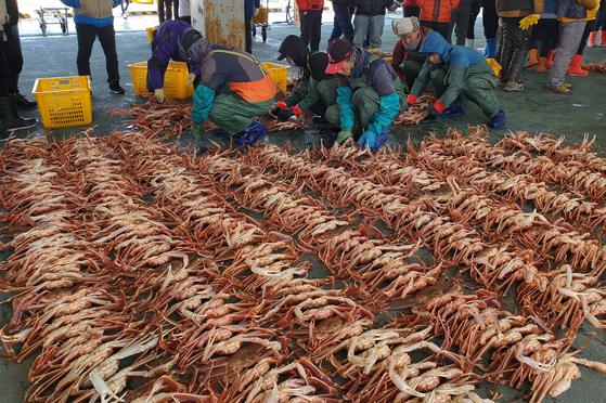 어민들이 경북 포항시 남구 구룡포수협에서 2019년 기해년 새해 첫 대게 경매를 앞두고 대게를 정리하고 있다. [뉴스1]