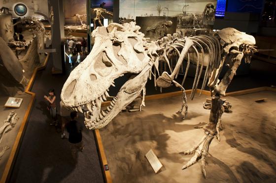 로얄 티렐 박물관에는 거대한 육식 공룡인 티라노사우루스 등 온갖 공룡의 화석이 온전한 모습으로 전시돼 있다. [사진 캐나다관광청]