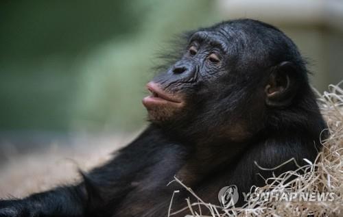 독일 동물원의 보노보. [dpa=연합뉴스]