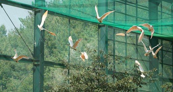 우포 따오기 복원센터 관람 케이지에서 비행하는 따오기. 송봉근 기자