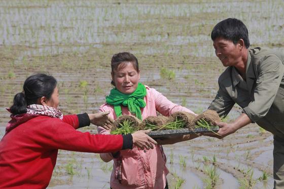 북한 평안남도 삼봉협동농장에서 주민들이 17일(현지시간) 모내기를 위해 모판을 옮기고 있다. [AP=연합뉴스]