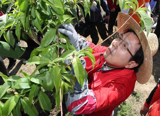 자유한국당 황교안 대표가 10일 오전 경북 영천의 한 과수농가에서 일손을 돕고 있다. [연합뉴스]