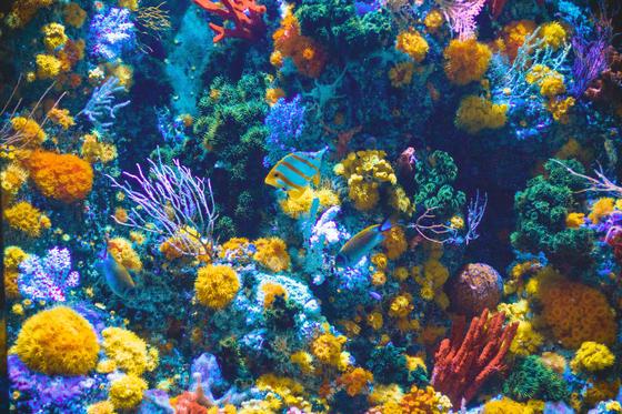산호는 바다 생물의 보고다. 바다 생물 중 25%가 산호 주변에서 서식한다. [사진 Shaun Low on Unsplash]
