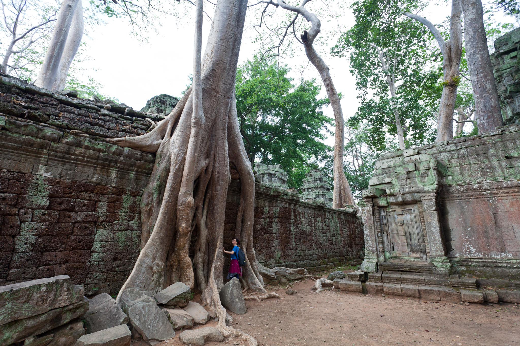 타프롬에 있는 스펑나무. 최승표 기자