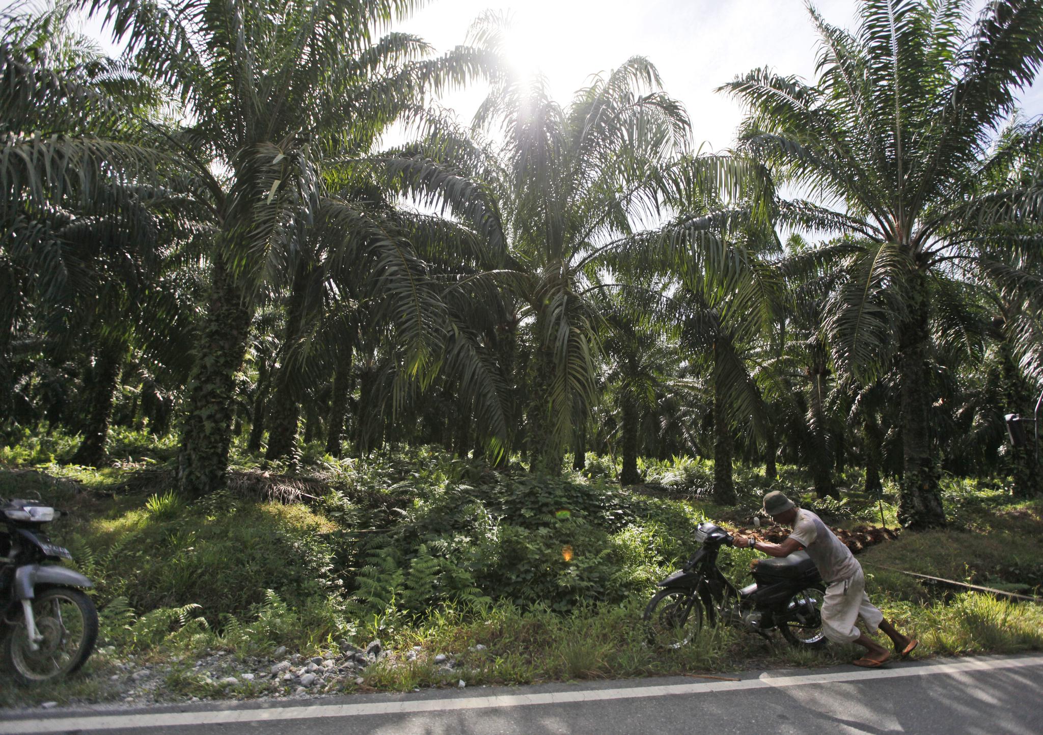 인도네시아 아체 지역의 팜유 플랜테이션. [AP=연합뉴스]