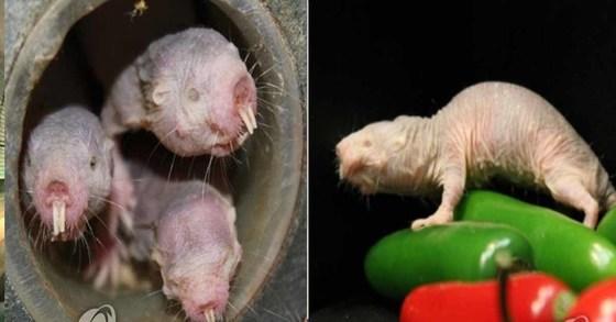 벌거숭이 두더지쥐는 몸길이 8cm의 볼품없는 외모를 가졌지만, 보통 쥐에 비해 5~10배를 산다. [연합뉴스]