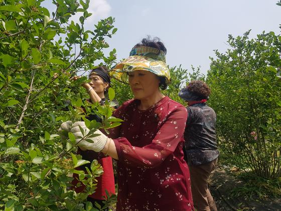 생산적 일손봉사 참가자들이 지난 16일 충북 괴산군 아로니아 농장에서 일을 하고 있다. 최종권 기자