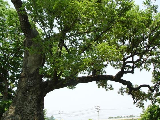 천연기념물 제96호 울진 수산리 굴참나무. 울진의 굴참나무는 굴참나무 가운데에서도 매우 크고 오래된 나무로서 생물학적 가치가 클 뿐만 아니라, 전설이 깃들어 있는 나무로서 문화적 가치도 높아 천연기념물로 지정·보호하고 있다. [사진 문화재청 국가문화유산포털]