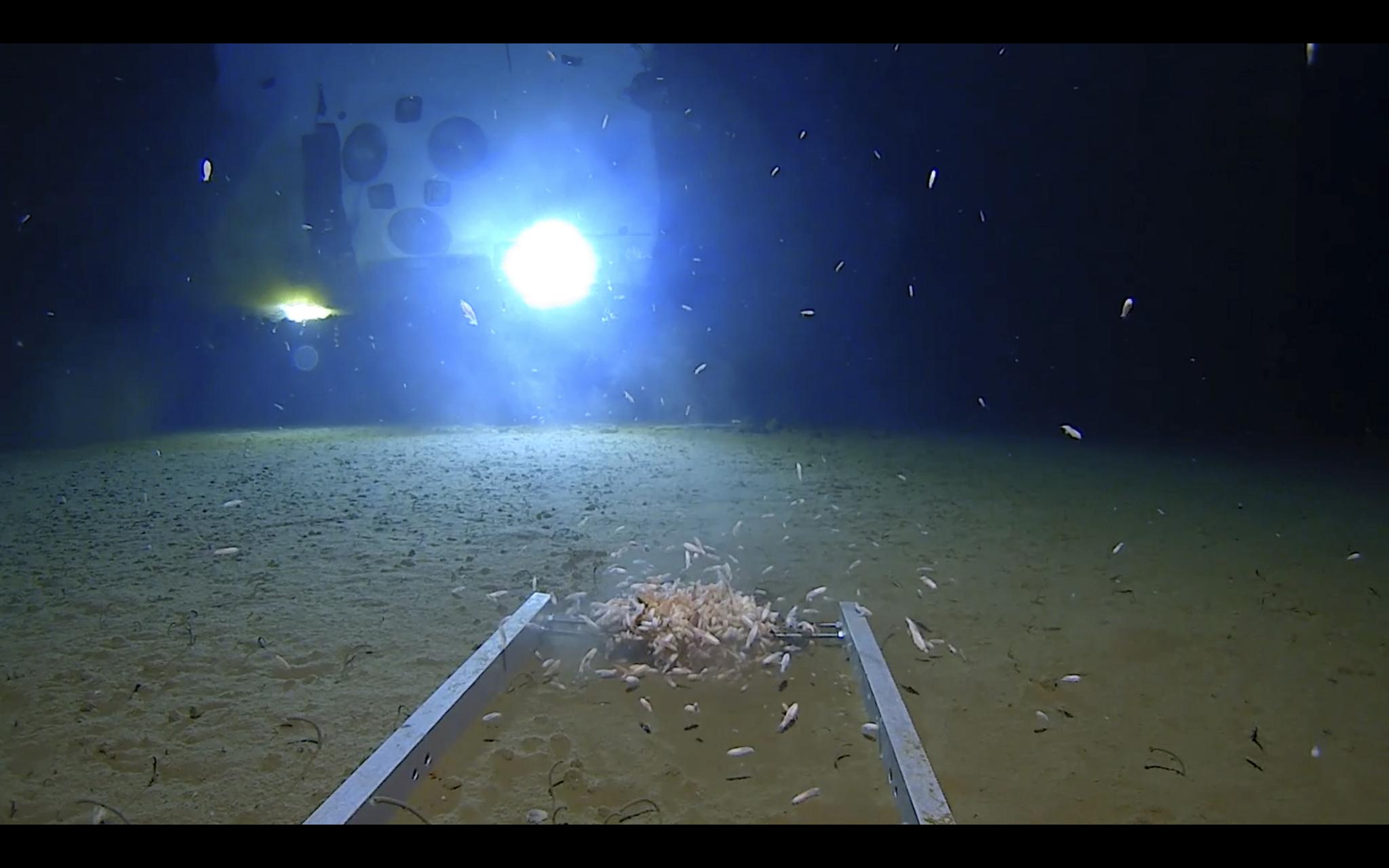 지난 5월 1일 마리아나 해구 가장 깊은 곳까지 들어간 잠수정 '리미팅 팩터스(Liminting Factors)'가 촬영한 사진. 절지동물들이 잠수정 근처에서 헤엄을 치고 있다. 아틀랜틱 프로덕션이 디스커버리 태널에 제공한 사진이다.[AP=연합뉴스]