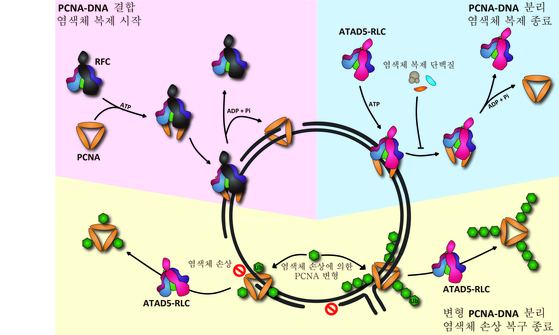 염색체 복제에는 증식성 세포핵 항원(PCNA)가 깊게 관여한다. 바늘에 실을 꿰듯 PCNA가 DNA에 결합해 염색체 복제와 복구 과정에 기여한다. 그러나 이 과정이 종료될 때 어떤 과정을 통해 PCNA가 DNA에서 떨어져나오는지는 알려지지 않았다. 이 과정에서 ATAD5-RLC 단백질이 중요역할을 하는 것으로 드러났다. [그래픽제공=기초과학연구원]
