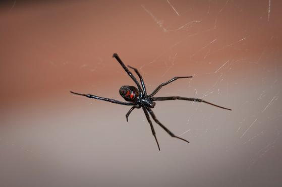 블랙위도우 거미. 독성이 매우 강한 것으로 알려져 있다. [pixabay]
